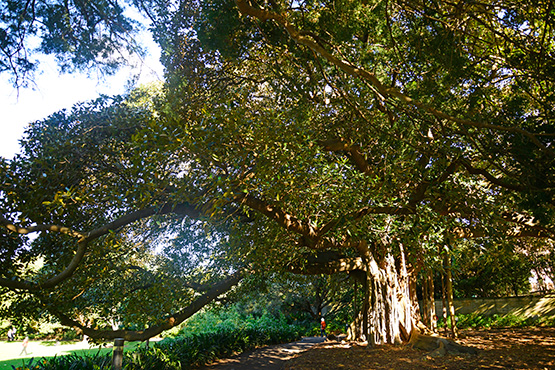 An old Morton Bay fig tree  in the Sydney Royal Botanic Gardens