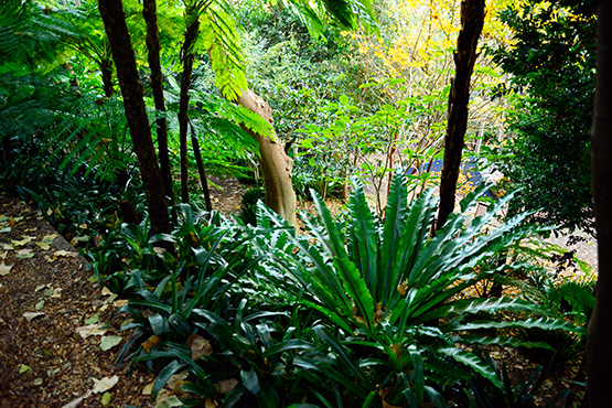 Large ferns in Wendy's Secret Garden in Lavender Bay, Sydney